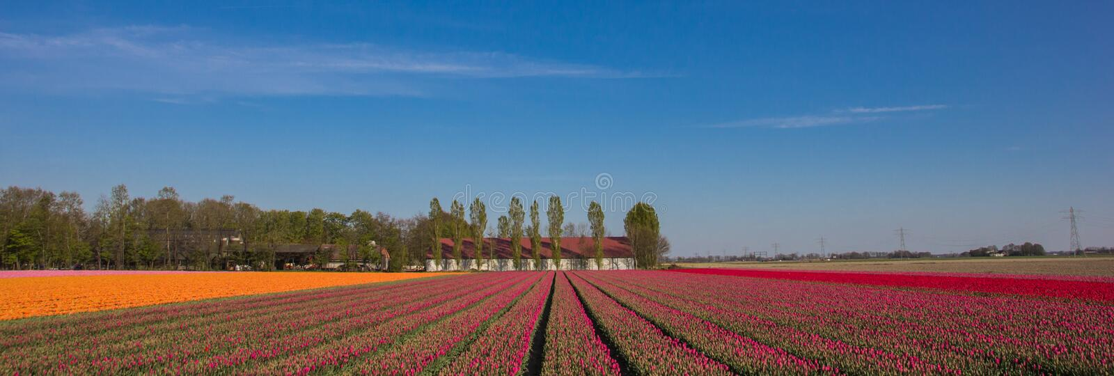 Panorama of a field of pink, red and yellow tulips and farm stock photo