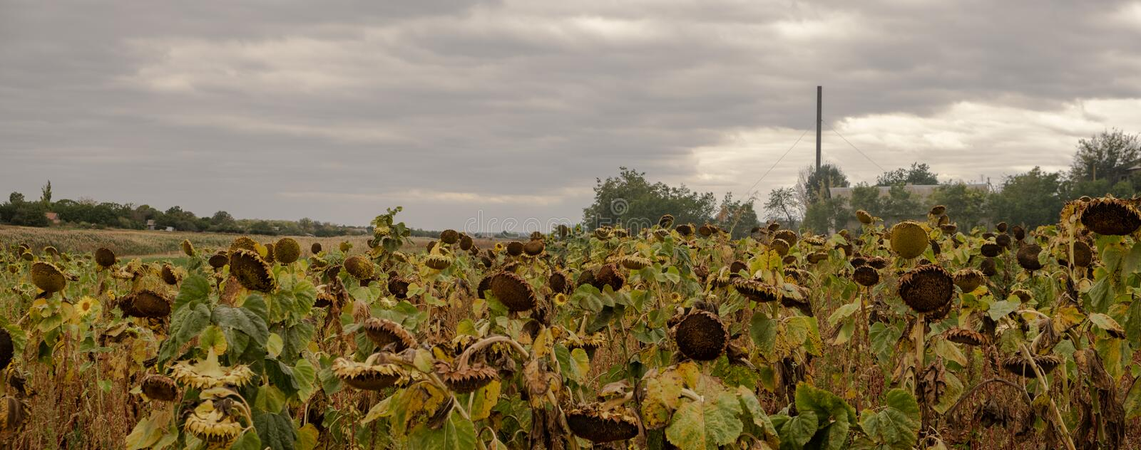 Panorama field of sunflowers on farm. Landscape countryside. In autumn royalty free stock images