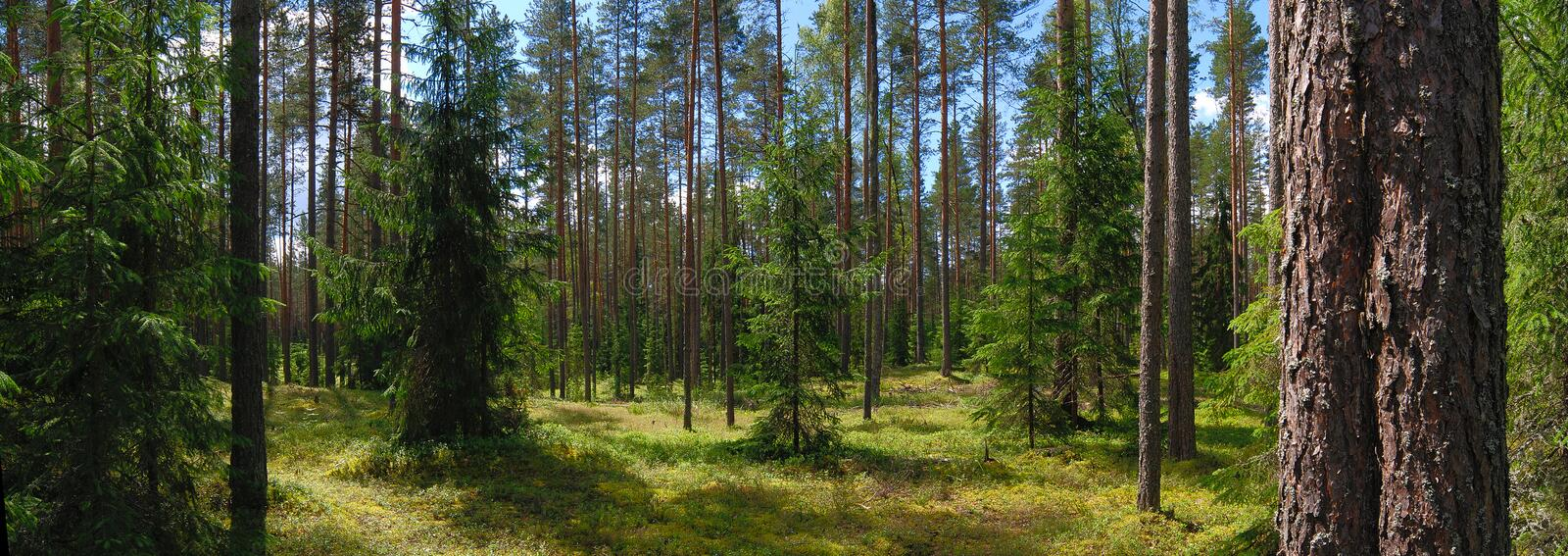 Panorama of forest stock image