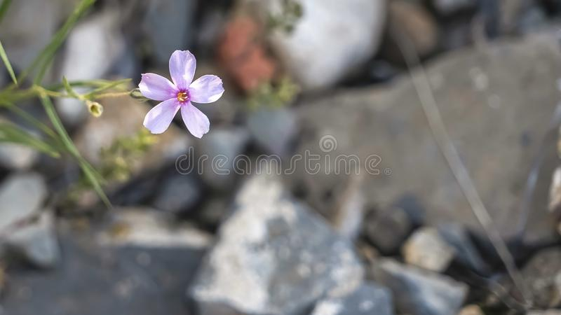 Panorama frame Close up view of a fragile and small white flower growing in the wilderness stock photography