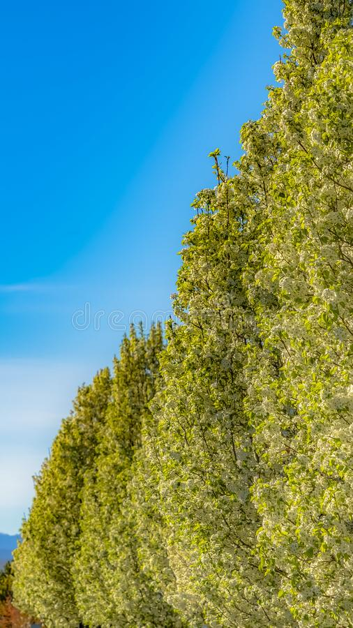 Panorama frame White flowers and bright green leaves of lush trees lining the road in spring. Houses and mountain under cloudy blue sky cna also be seen on stock photos