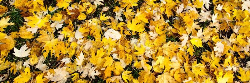 Panorama, gelber Herbstlaub am Boden stockfotos