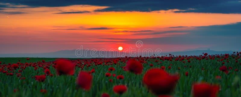 Panorama granangular del campo con las amapolas rojas florecientes en el tiempo de la puesta del sol fotos de archivo libres de regalías