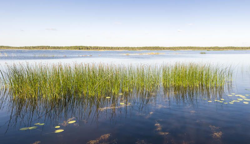 Panorama of green reed grow in a lake or sea stock photos