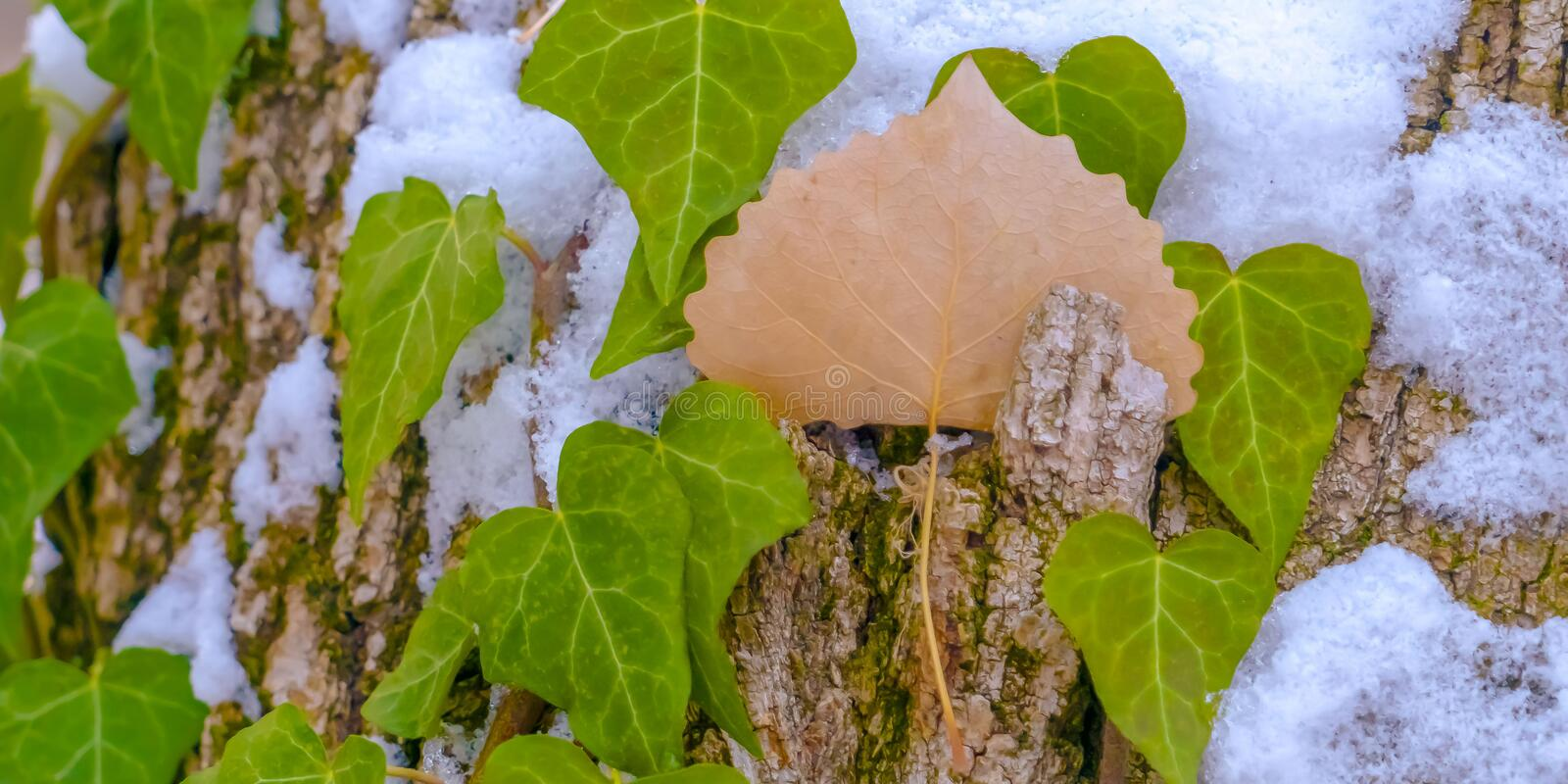 Panorama Heart shaped vines growing on the brown trunk of a tree with algae and snow. Nature scenery at a forest viewed on a sunny winter day stock image