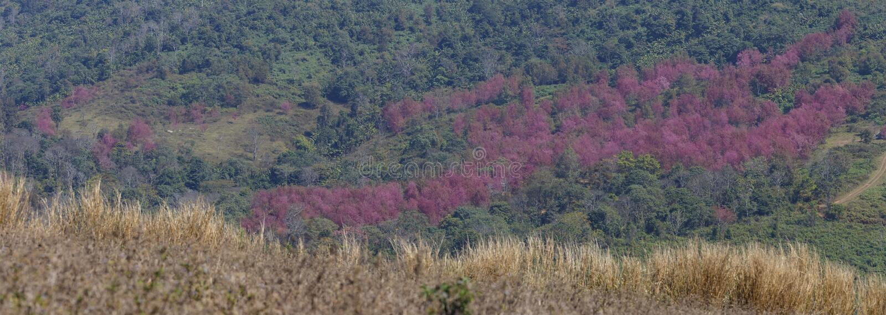 Panorama Himalajacerasoi Prunus Blüte des wilden Rosas kirsch stockbild