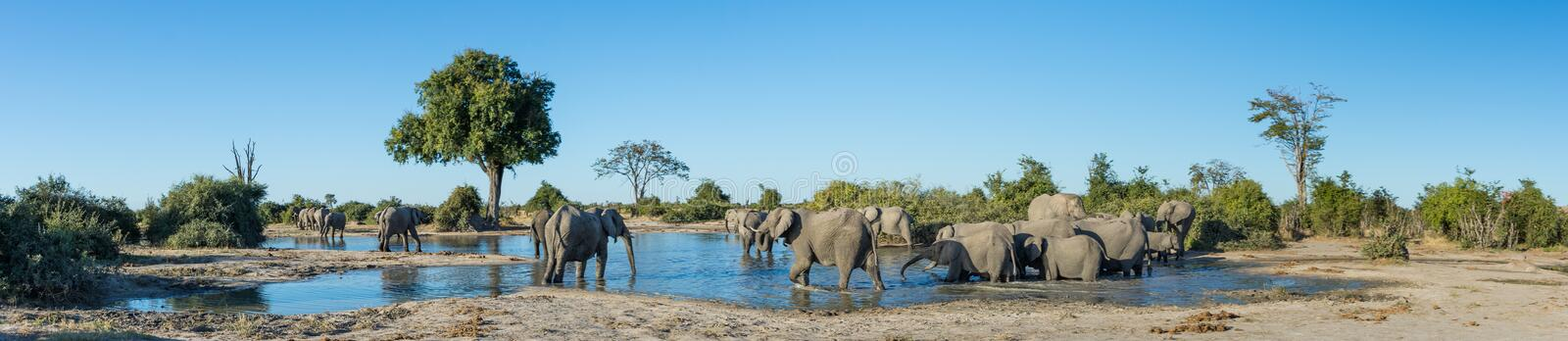 A colour, panorama image of a herd of elephants, Loxodonta africana, bathing and drinking at a dwindling waterhole in Savute, Bot. A colour, side lit, panorama stock photos