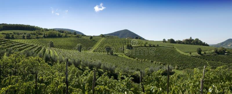 Panorama Italiano Delle Vigne Immagine Stock