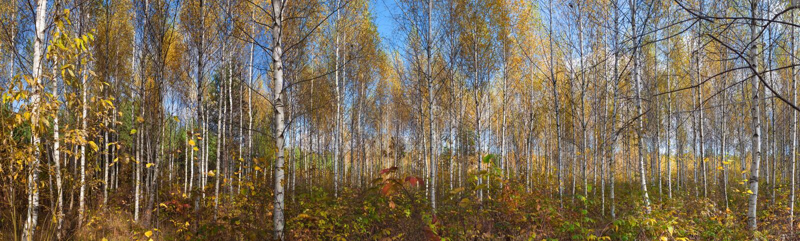 Panorama jesieni brzozy las obrazy royalty free