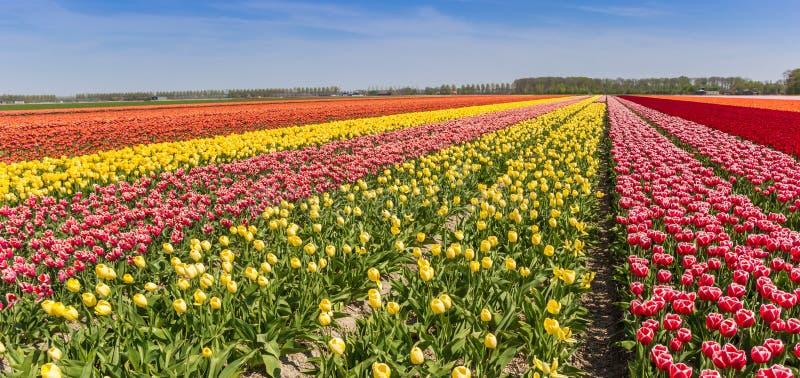 Panorama kolorowy tulipanu pole w Flevoland zdjęcie royalty free