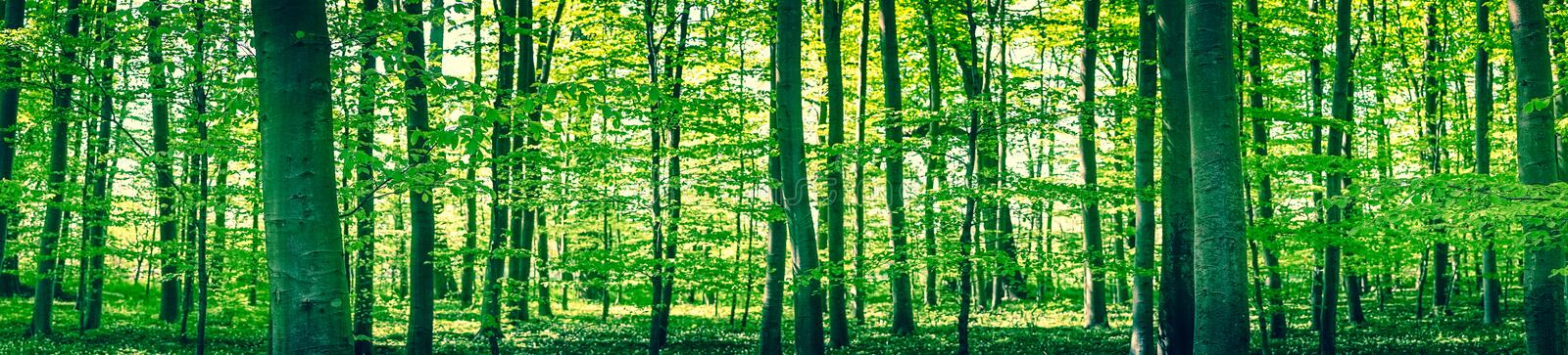 Panorama landscape of a beech forest royalty free stock photo