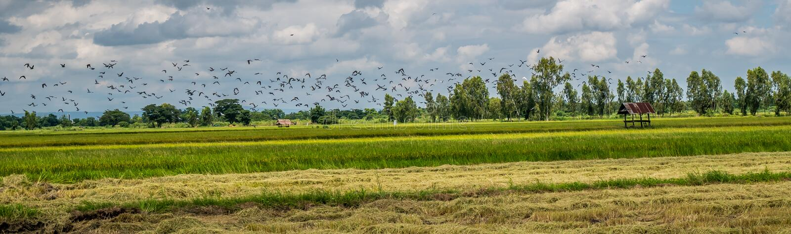 Panorama landscape. A flock of dove and mynas in rice field. Thailand. Panorama landscape. A flock of dove and mynas in rice field stock photos