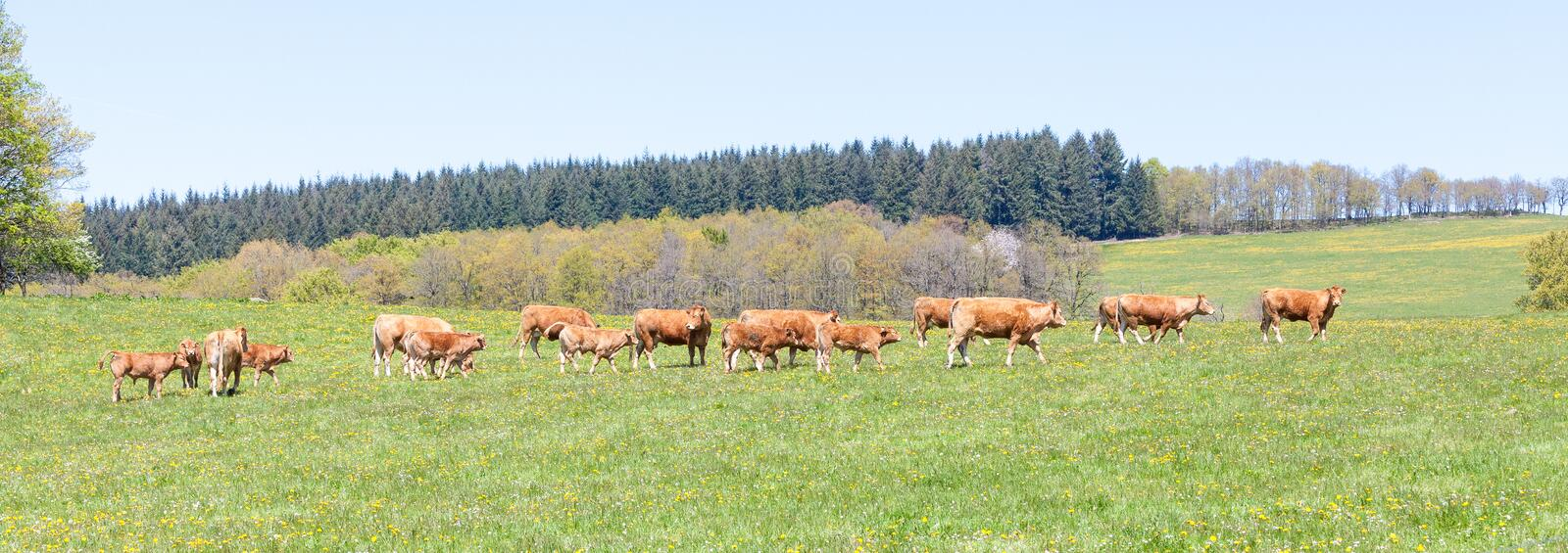 Panorama landscape with Limousin beef cattle walking across a pa. Panorama landscape with Limousin beef cattle walking across a spring pasture with a breeding royalty free stock images
