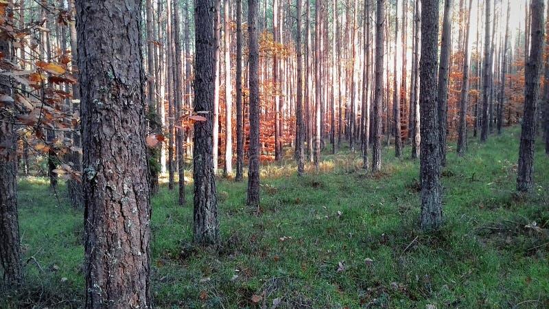 Panorama lasowy las w wczesnym poranku autumn wcześniej las Lasowy gąszcz fotografia stock