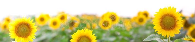 Panorama lato krajobraz - Złoty słonecznika pole fotografia royalty free