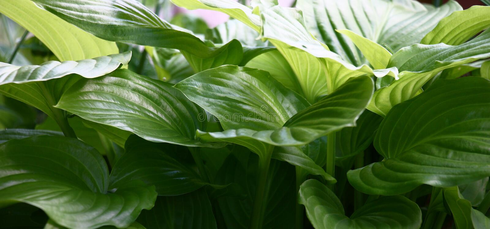 Panorama of leaves hosts. Large healthy green color leaves hosts create an interesting panorama stock image