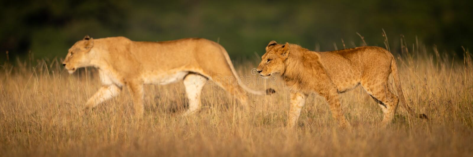 Panorama of lion and lioness walking side-by-side royalty free stock photo