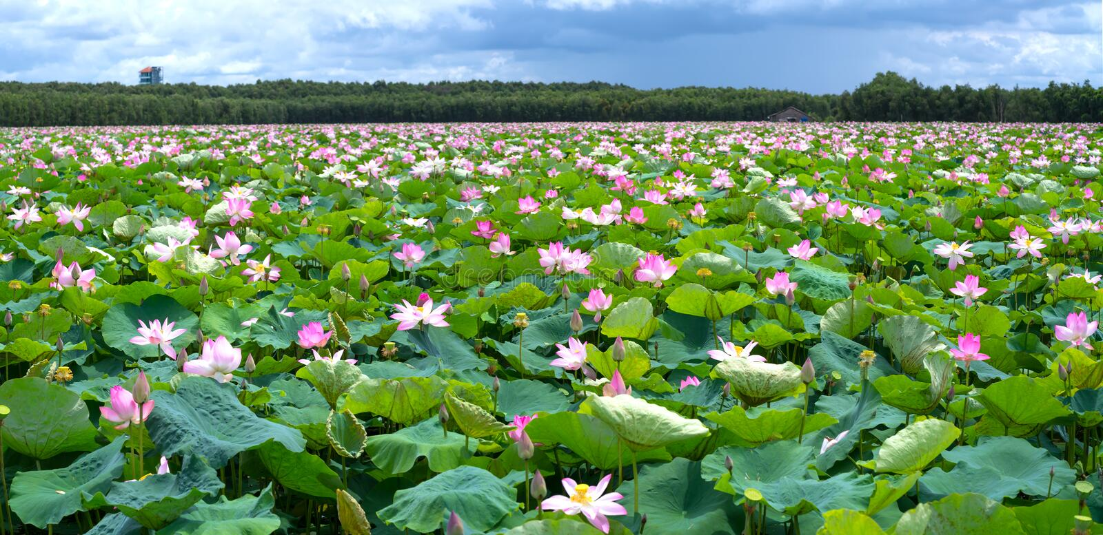 The panorama of lotus ponds in peaceful and quiet countryside. This is the flower of the Buddha and is useful for human food royalty free stock photography