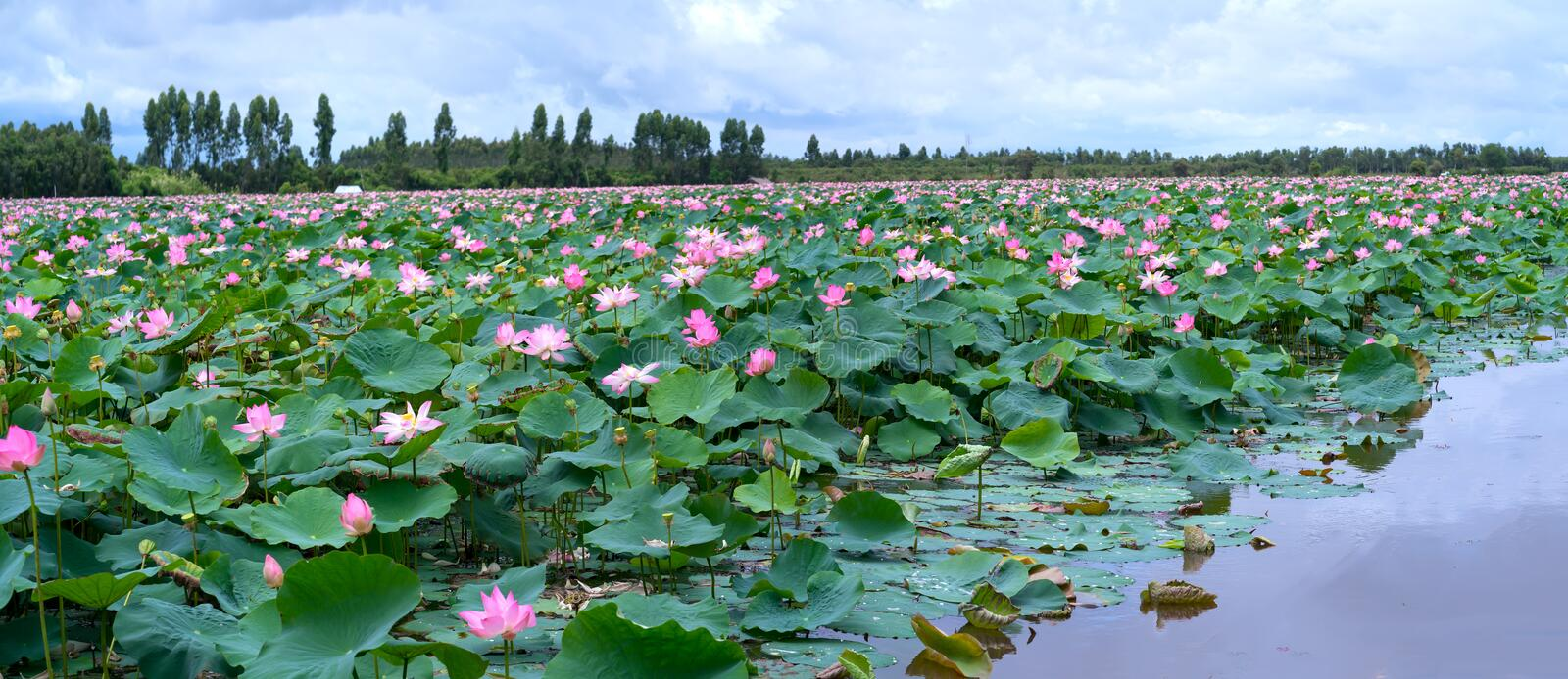 The panorama of lotus ponds in peaceful and quiet countryside. This is the flower of the Buddha and is useful for human food royalty free stock image