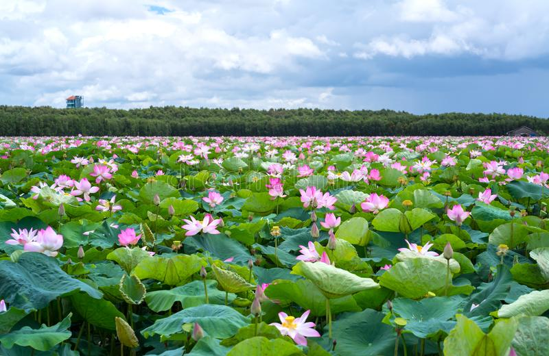 The panorama of lotus ponds in peaceful and quiet countryside. This is the flower of the Buddha and is useful for human food stock photography