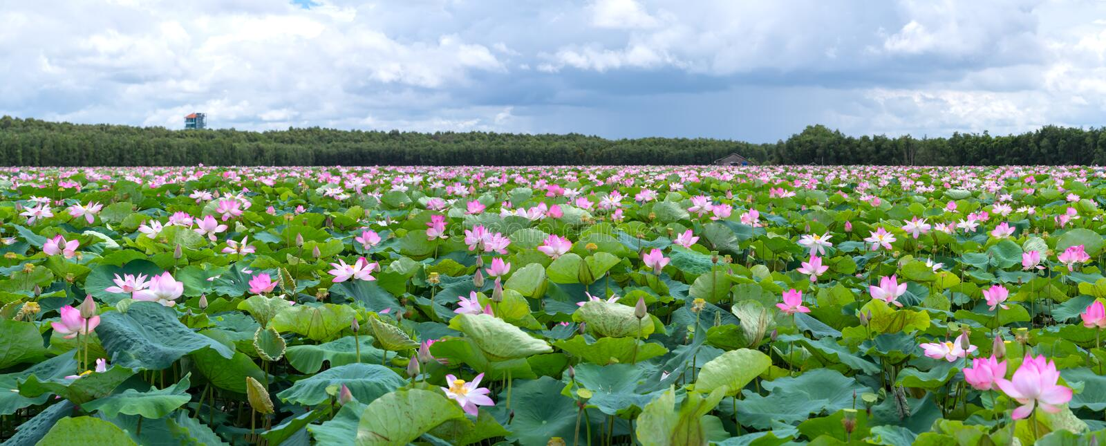 The panorama of lotus ponds in peaceful and quiet countryside. royalty free stock photos