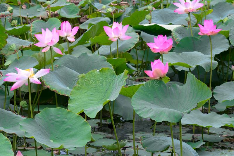The panorama of lotus ponds in peaceful and quiet countryside. This is the flower of the Buddha and is useful for human food royalty free stock photo