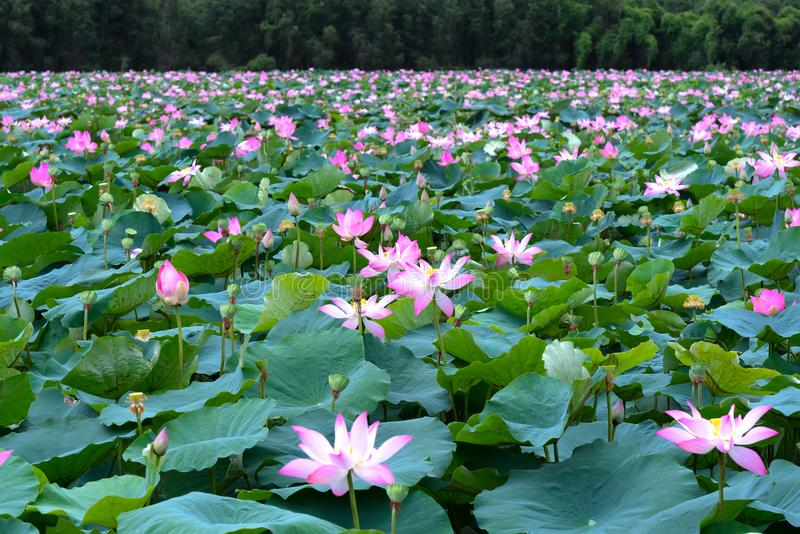 The panorama of lotus ponds in peaceful and quiet countryside. This is the flower of the Buddha and is useful for human food royalty free stock images