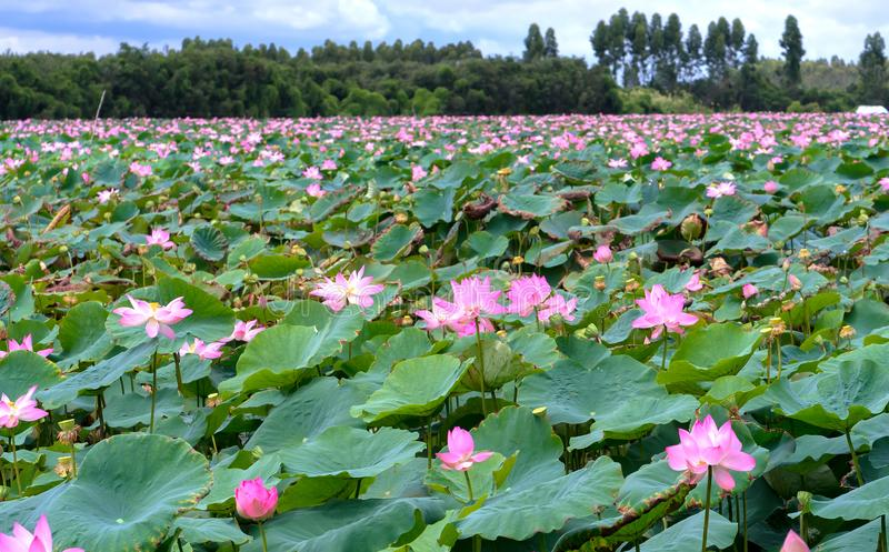 The panorama of lotus ponds in peaceful and quiet countryside. This is the flower of the Buddha and is useful for human food stock photos