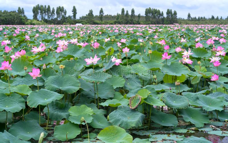 The panorama of lotus ponds in peaceful and quiet countryside. This is the flower of the Buddha and is useful for human food stock photo