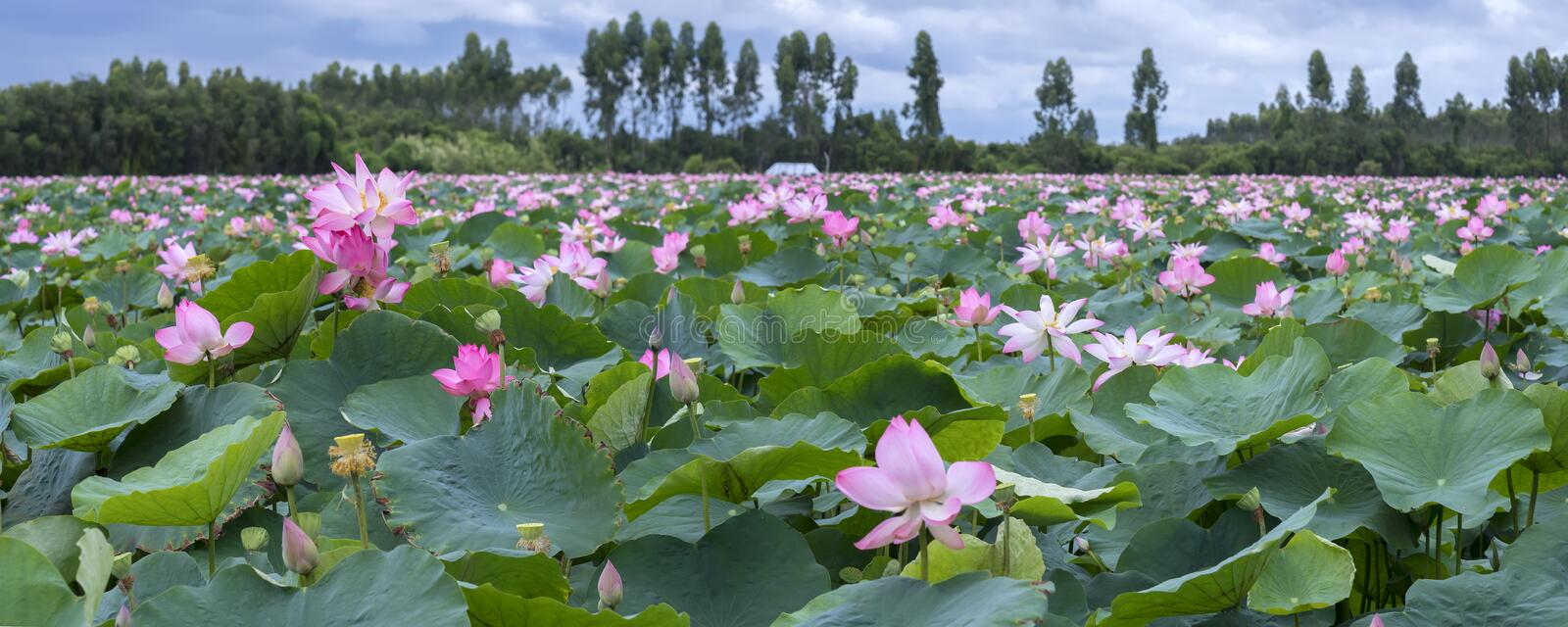 The panorama of lotus ponds in peaceful and quiet countryside. This is the flower of the Buddha and is useful for human food royalty free stock photos