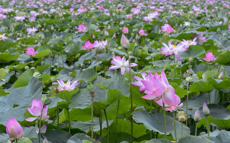 The panorama of lotus ponds in peaceful and quiet countryside. This is the flower of the Buddha and is useful for human food stock images