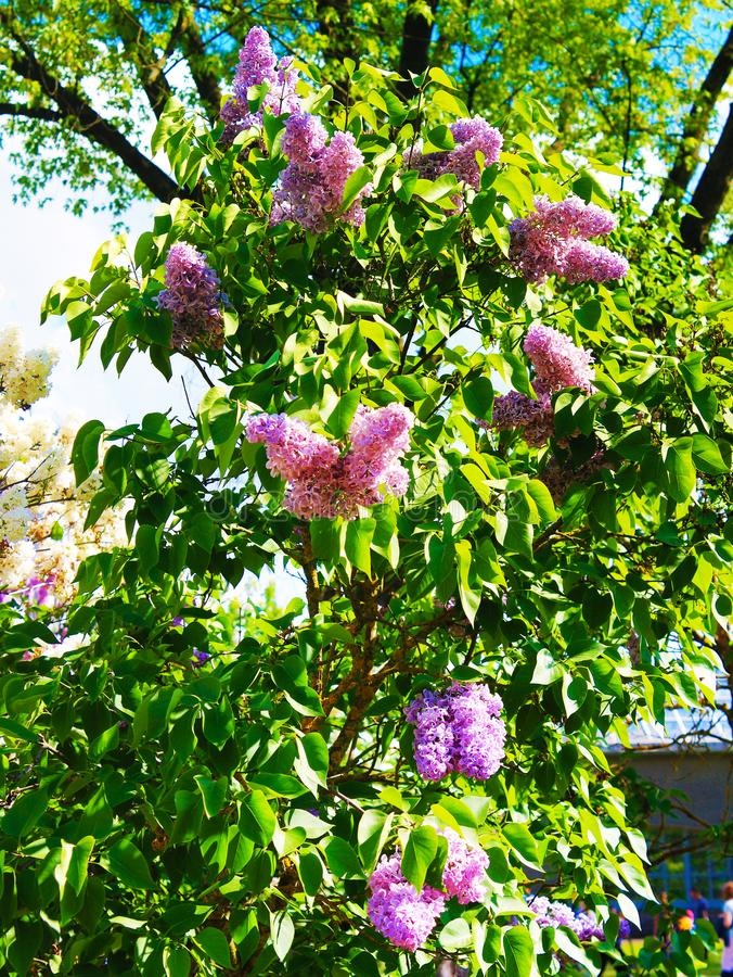 Panorama magnífico con la lila de la primavera en un día soleado imagenes de archivo