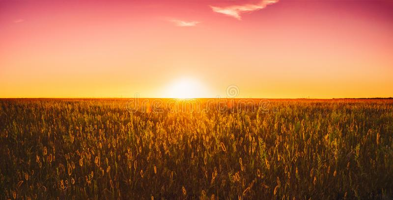 Meadow Grass In Yellow Sunlight At Later Summer Or Early Autumn. Panorama Of Meadow Grass In Yellow Sunlight At Later Summer Or Early Autumn Season On Bright Sun stock image
