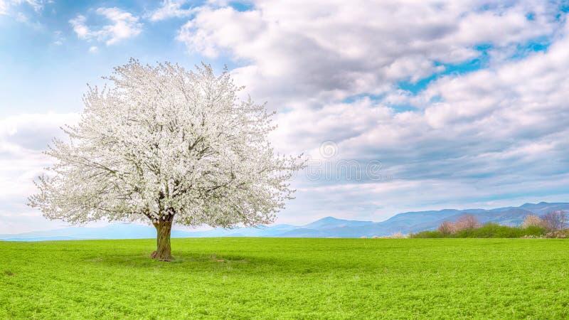 Panorama med det enkla körsbärsröda trädet på äng arkivfoton