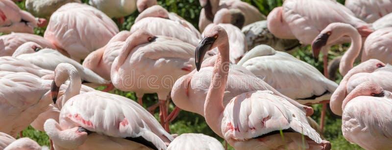 Panorama med flamingo royaltyfri foto