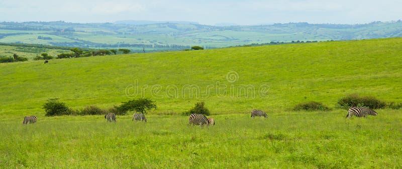 Panorama med sebror, Sydafrika royaltyfria foton
