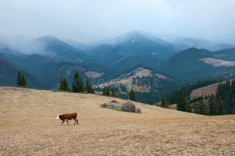 Cows graze on a pasture, powdered with snow against the backdrop of the mountains. stock image