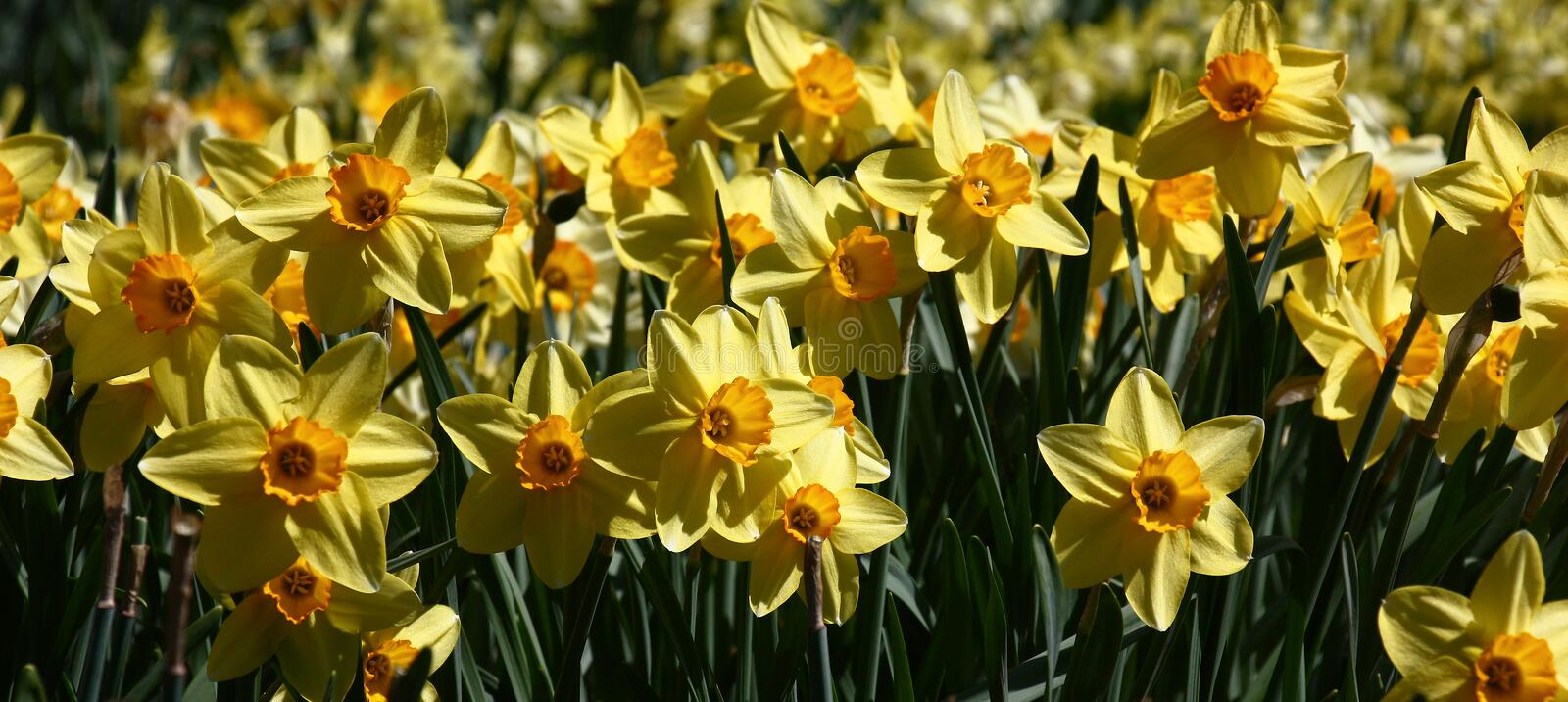 Panorama with narcissuses. Abundance of the blossoming narcissuses with yellow petals and an orange crown at bright solar lighting stock images