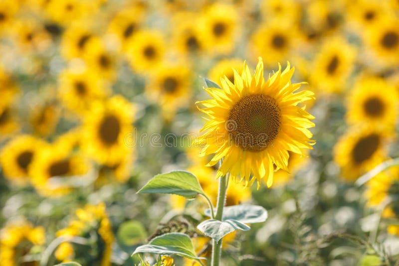 Panorama nel campo dei girasoli di fioritura nel giorno soleggiato immagine stock