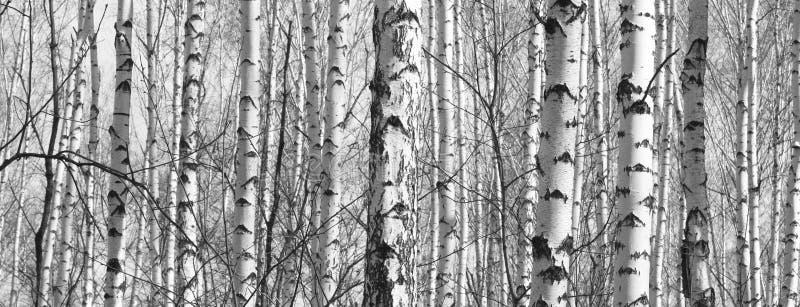 Panorama noir et blanc avec des bouleaux dans le rétro style image stock