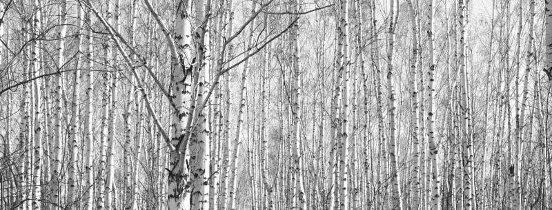 Panorama noir et blanc avec des bouleaux dans le rétro style images stock
