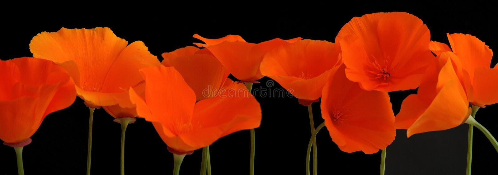 Panorama of orange poppies royalty free stock photos