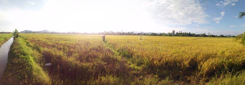 Panorama of paddy field stock photography
