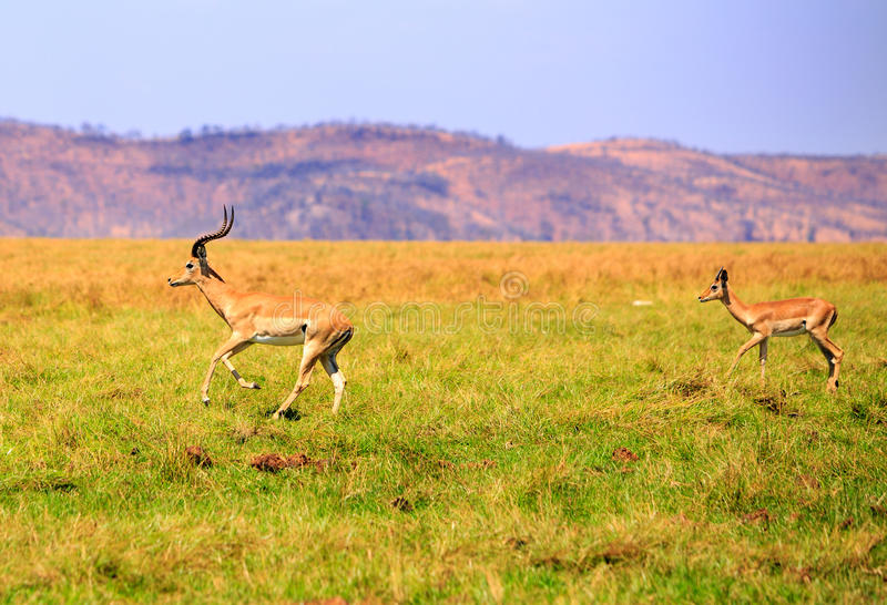 Panorama of a pair of impala sprinting. Two impalas run across the green open plains in Bumi national park stock photos