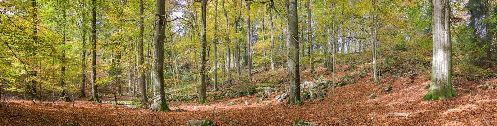 Panorama photo of the forest in autumn shades in the Eifel, Germany royalty free stock photography