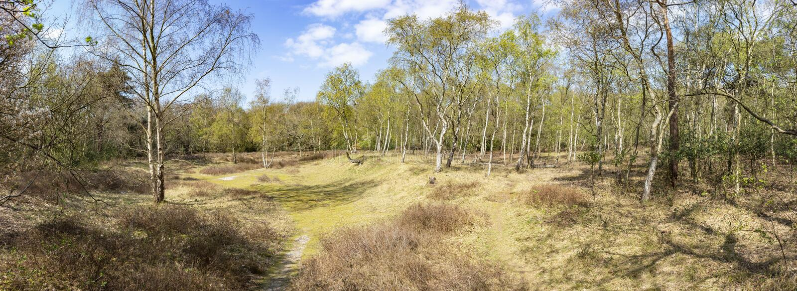 Panorama photo of an open place with many birch trees in the Hyacinth forest in spring colors in the park Ockenburg, the Hague, Ne stock photos