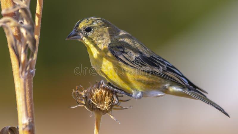 Panorama Piękny ptak umieszczał na suchym kwiacie roślina na słonecznym dniu zdjęcie royalty free