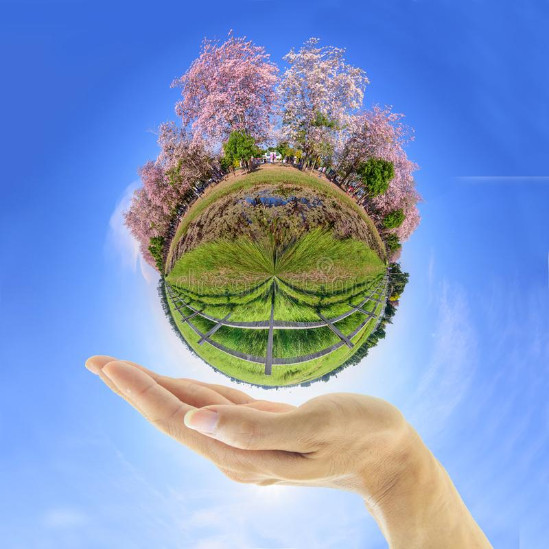 360 Panorama of Pink trumpet tree with the hand of the man under stock images