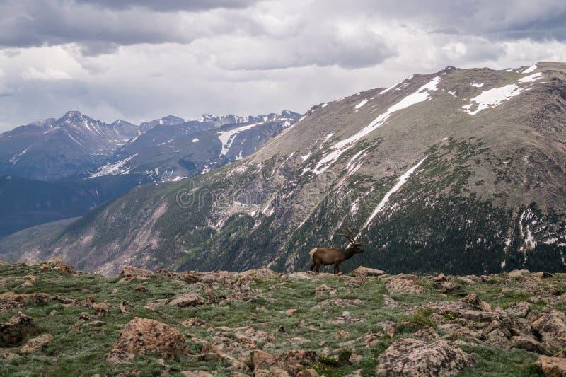 Panorama pittoresque de Rocky Mountains Les cerfs communs nobles sur un pré de haut-montagne image stock