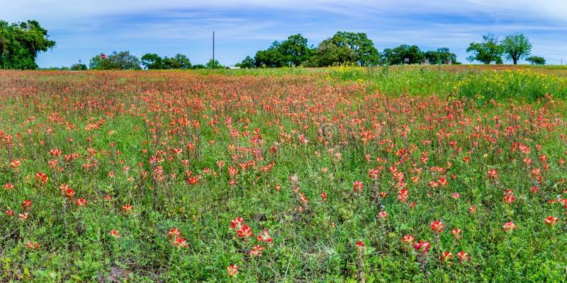 Panorama Pomarańczowi Indiańskiego Paintbrush Wildflowers w Teksas polu zdjęcia stock